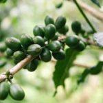 Comment boire le café vert pour maigrir ?