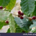 Comment cultiver le cafe a partir de graines ?