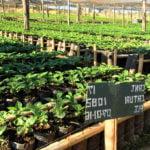 Comment est cultivé le café ?