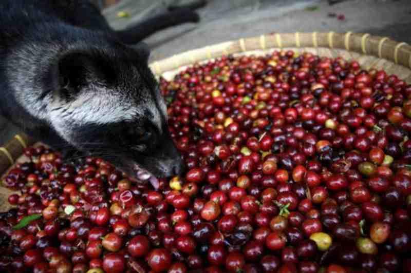 Comment est fabriqué le café le plus cher du monde?
