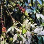 Comment s'appelle l'arbre qui produit le café ?