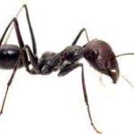 Comment tuer les fourmis avec du cafe ?